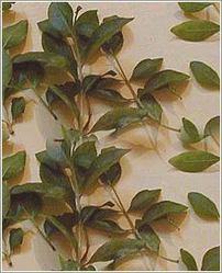 Henna,Mehndi,Henna Plant,Lawsonia Inermis,Mehndi Henna,Indian Mehndi