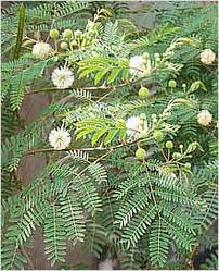 Mimosa Pudica,Mimosa Pudica Seeds,Mimosa Pudica Plant,Touch
