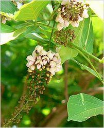 fumaria officinalis hindi name